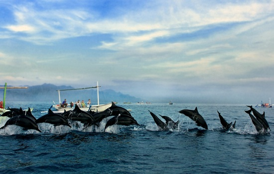Dolphin dance at Lovina